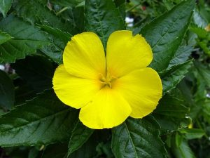 Damiana For Weight Loss