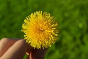 Yellow Dandelion For Weight Loss